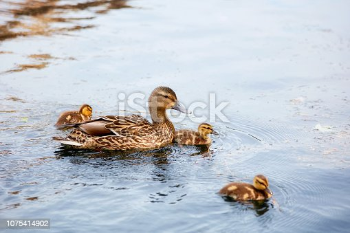 Mallard mother duck swimming on the pond with her ducklings