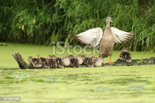 istock Mother Duck Watching Over Ten Ducklings Sitting on a Log 157562295
