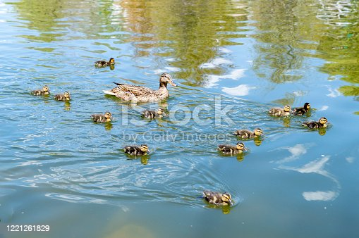 A family of baby ducklings following their mother as they swim through a local pond