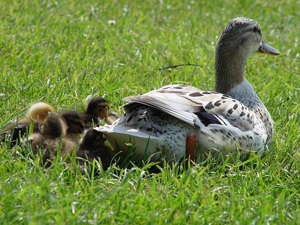 mother duck with baby ducklings - fsachs78 stockfoto's en -beelden