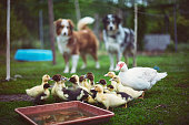 Mother duck with baby ducks in the protected outdoor enclosure, while the dogs watching