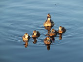 Mother duck with a five baby ducks swiming ona sunny day.