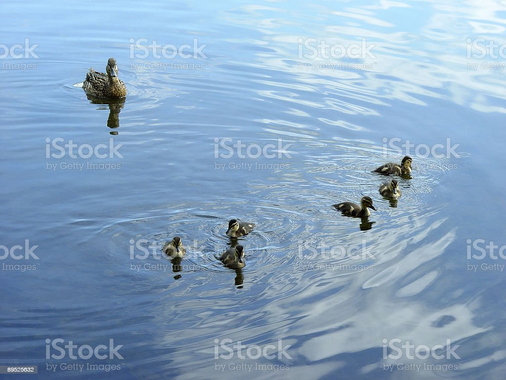 Mother duck with newborn duckling royalty-free stock photo