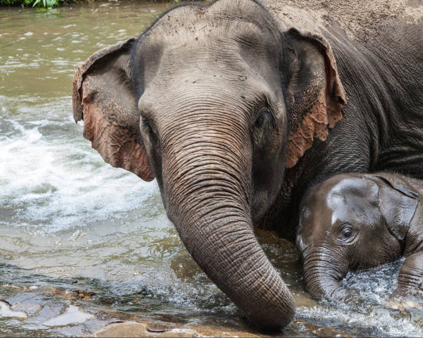 Mother Elephant Bathing with her Baby stock photo