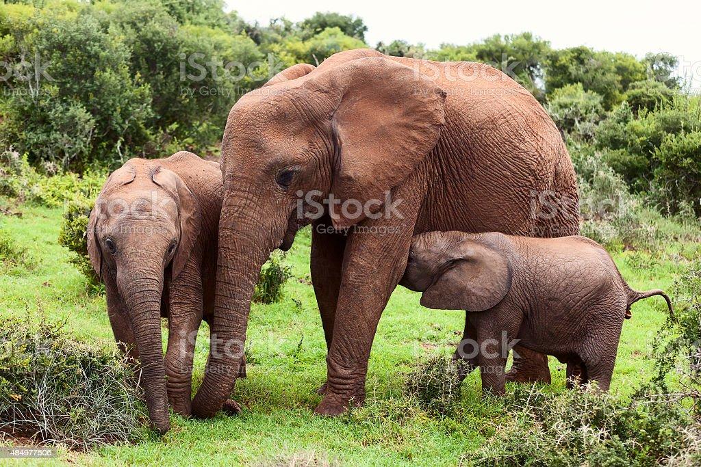 Mother Elephant stock photo