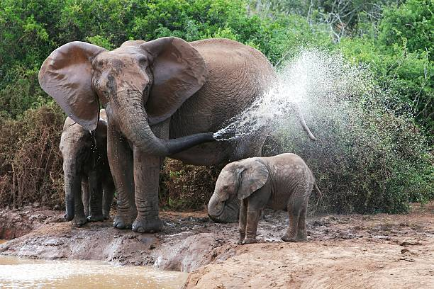 A mother elephant spraying water past her baby elephant African elephant mother and baby cooling off at a water hole animal trunk stock pictures, royalty-free photos & images