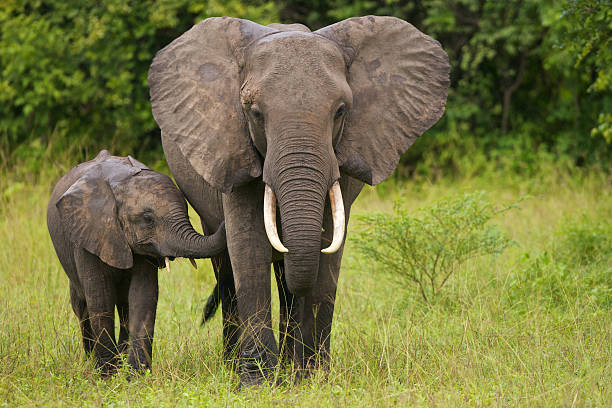 A mother elephant walking with her calf in the grass stock photo