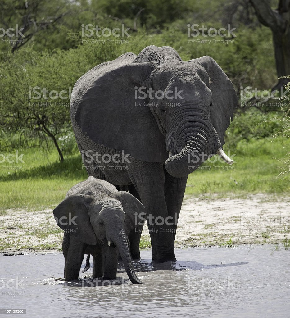 A mother elephant walking with her calf in the river. royalty-free stock photo