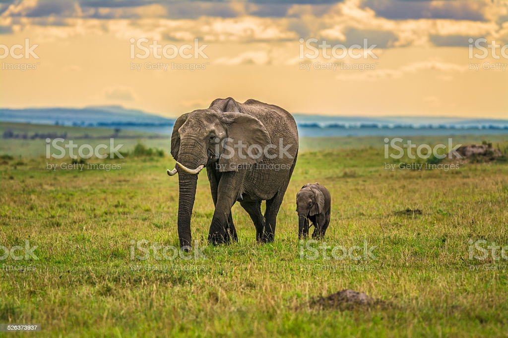 Mother elephant with a baby stock photo