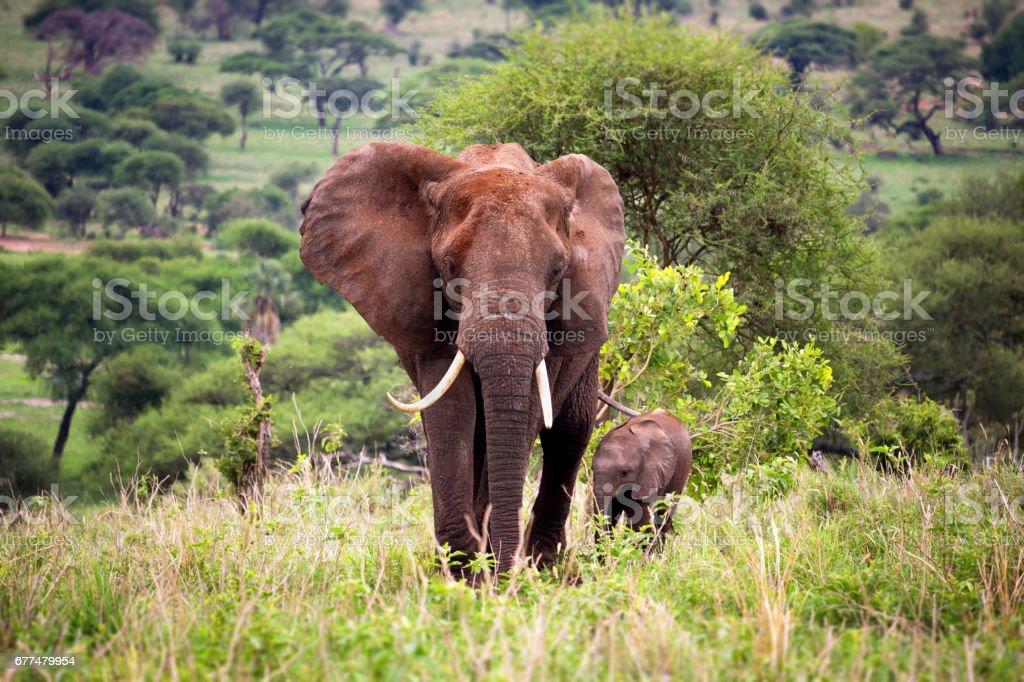 Mère avec un bébé éléphant - Photo