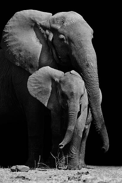 Mother elephant with baby Mother elephant protecting it baby elephant calf stock pictures, royalty-free photos & images