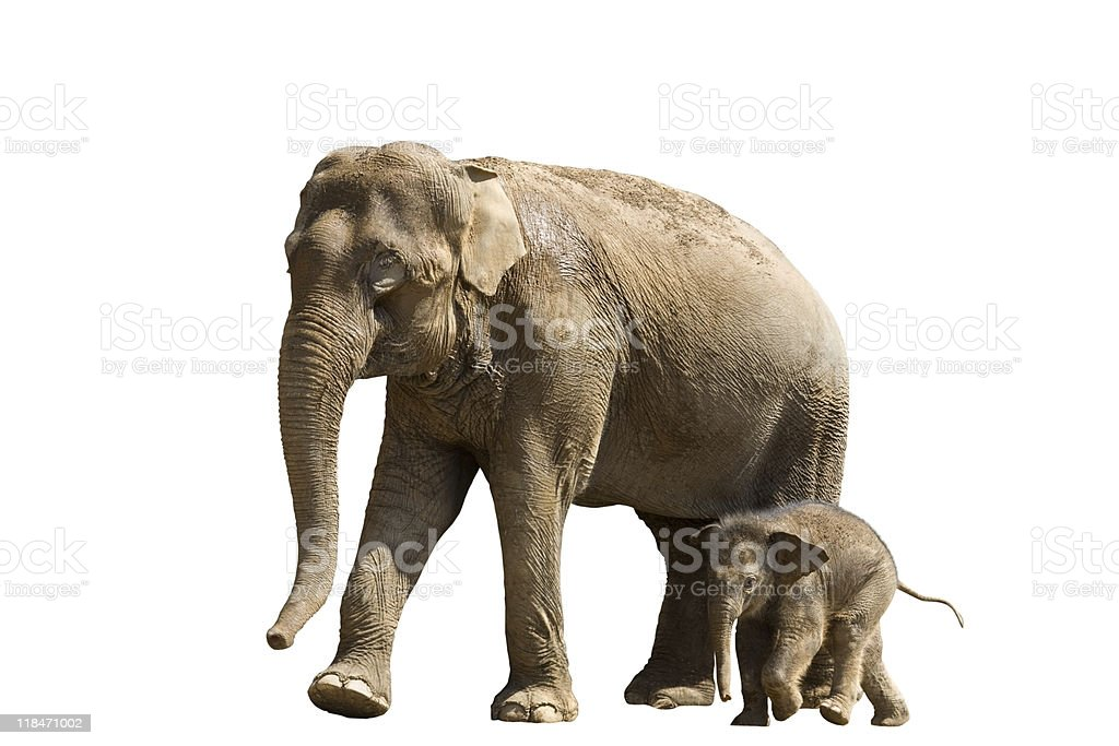 Mother elephant with her baby isolated on white background stock photo