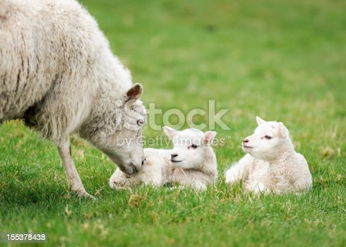 A mother sheep nuzzling one of her young lambs in spring.