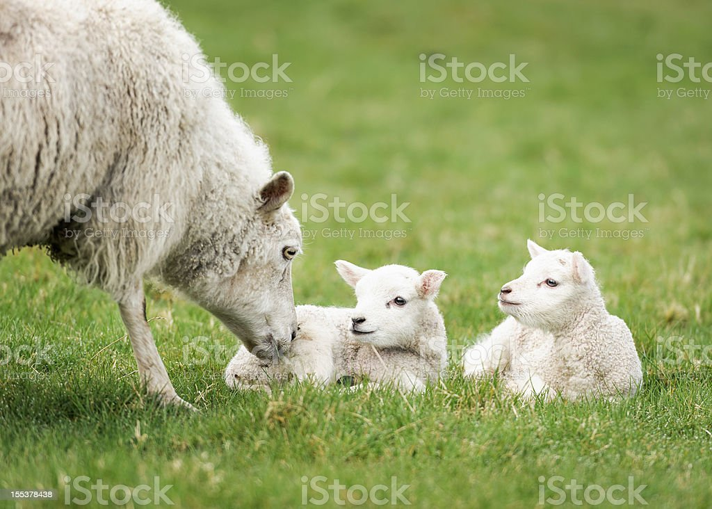 Mother ewe nurturing her lambs stock photo