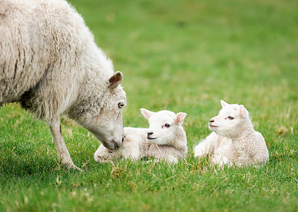 Mother ewe nurturing her lambs A mother sheep nuzzling one of her young lambs in spring. lamb animal stock pictures, royalty-free photos & images
