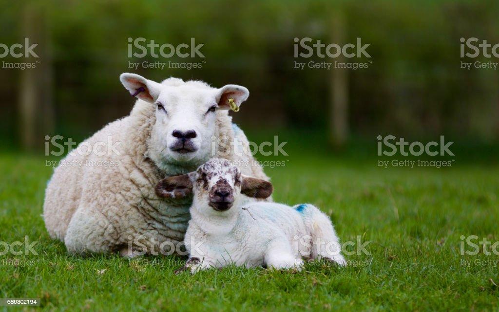 Mother ewe with baby lamb stock photo