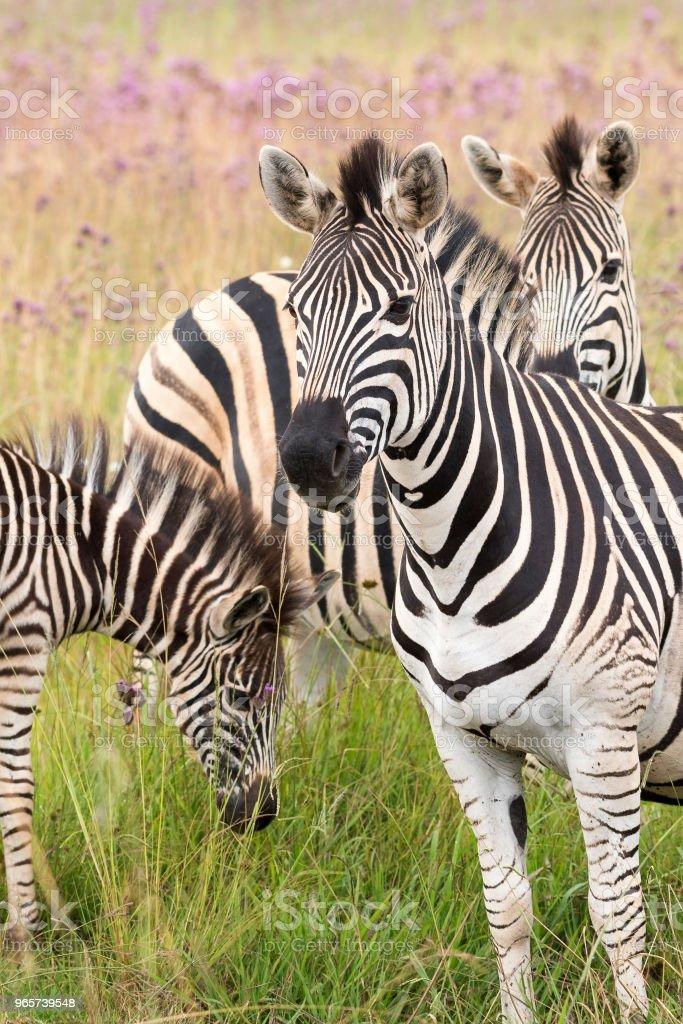 Moeder, vader en jonge zebra - Royalty-free Afrika Stockfoto
