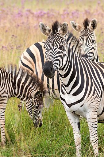 Moeder Vader En Jonge Zebra Stockfoto en meer beelden van Afrika