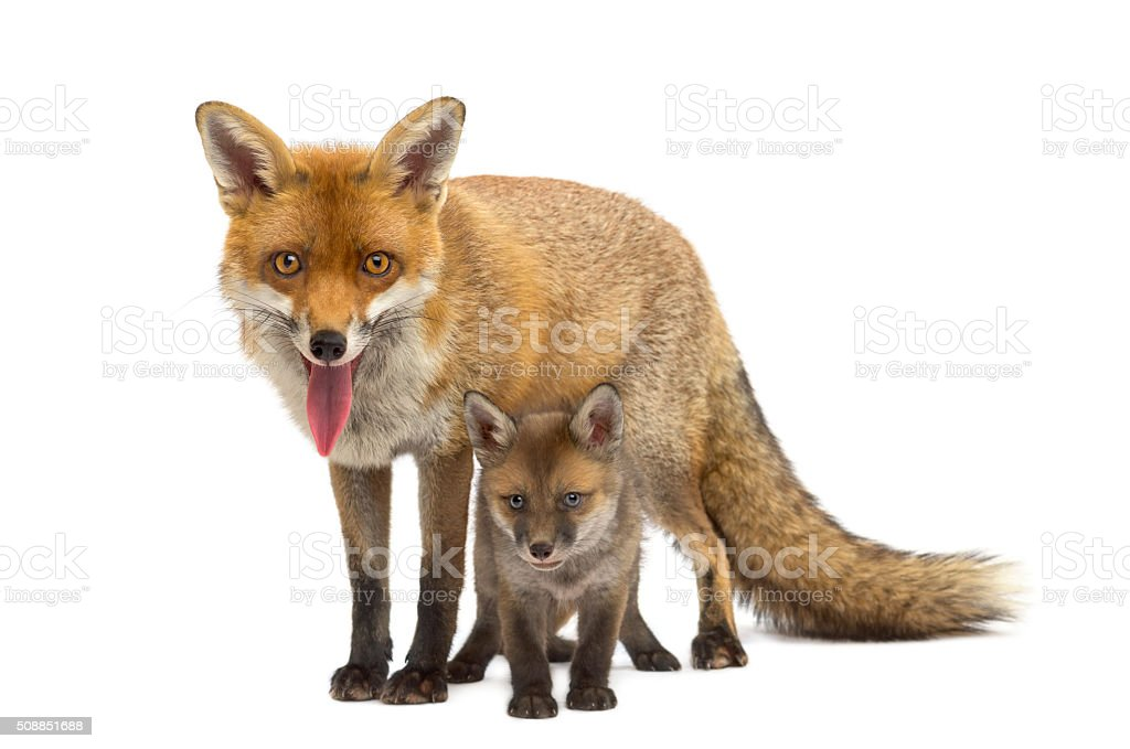 Mother fox with her cub (7 weeks old) stock photo
