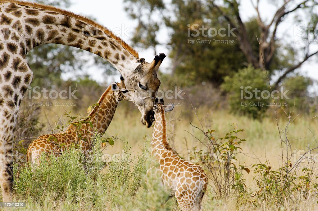 Mother Giraffe and her two Calves stock photo
