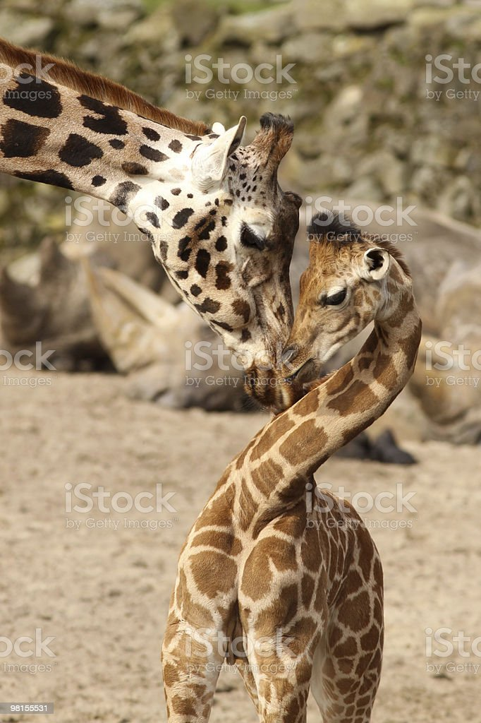 Mother giraffe cuddling with its baby royalty-free stock photo