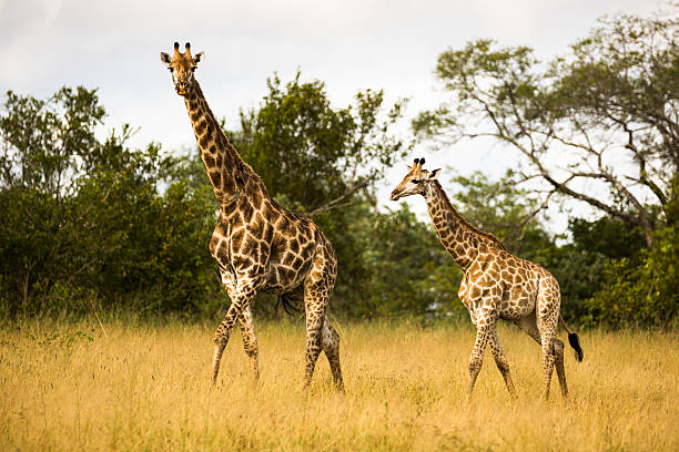 Mother Giraffe Walking with Her Calf in the Bushveld stock photo