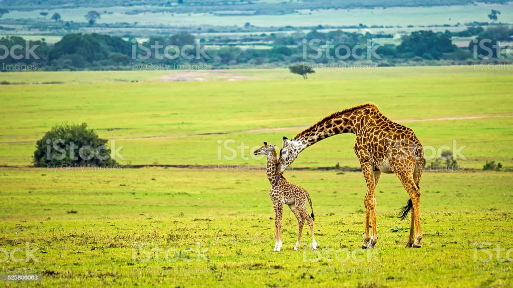 Mother giraffe with her baby stock photo