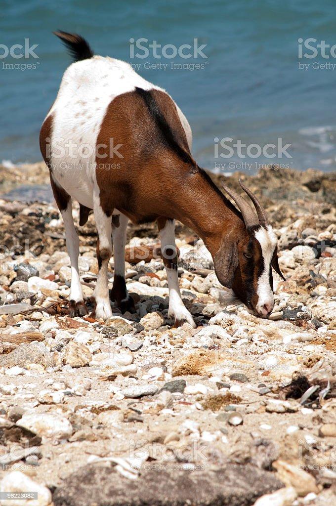 Madre di capra con vista oceano foto stock royalty-free