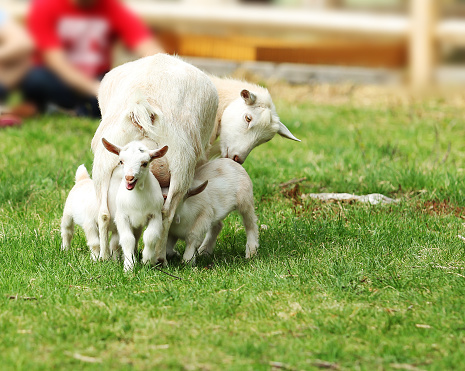 Shot of a flock of goats in an enclosure at a dairy farm