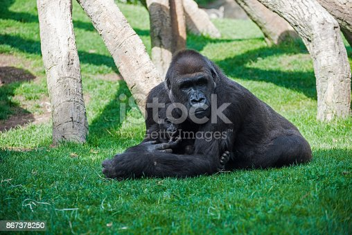 Mother gorilla with offspring on grass