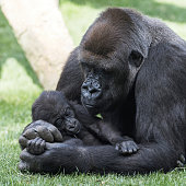 Mother gorilla with puppy on grass.