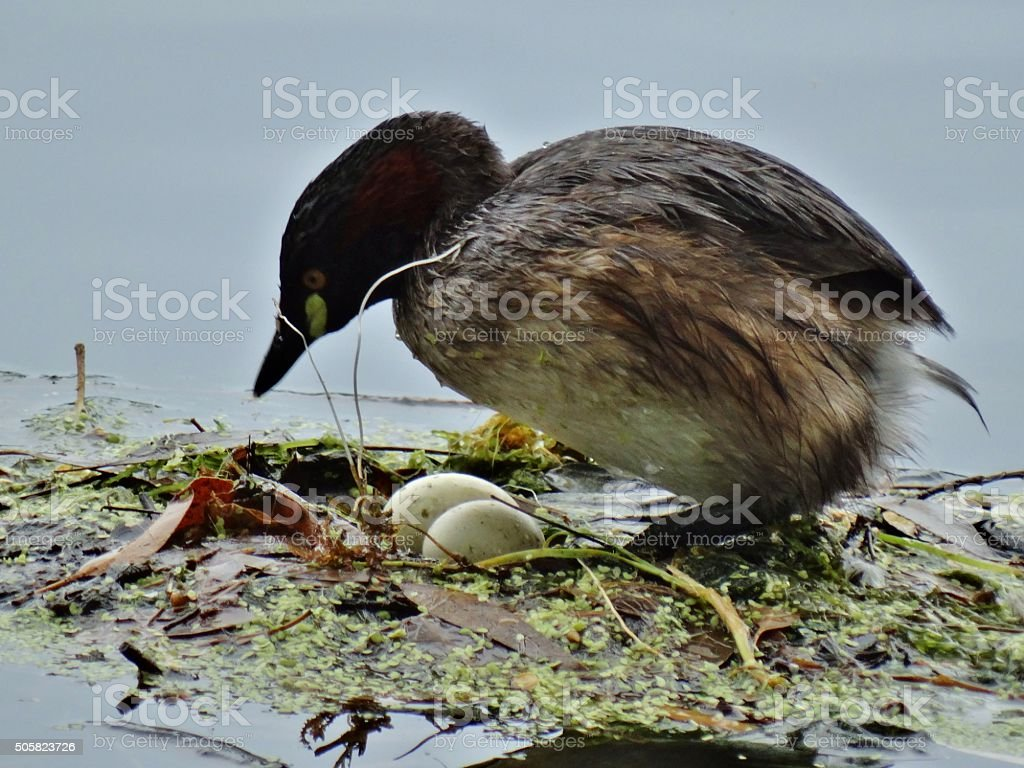 Mother Grebe stock photo