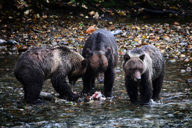 Mother Grizzly Bear and 2 cubs feast on a freshly caught salmon stock photo