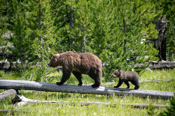Mother Grizzly Bear and Cub Walk Across a Log stock photo
