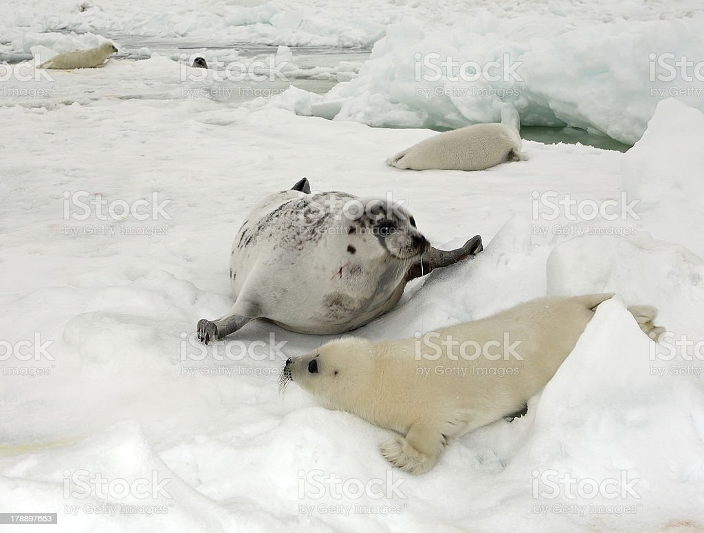 Mother harp seal cow and newborn pup on ice royalty-free stock photo