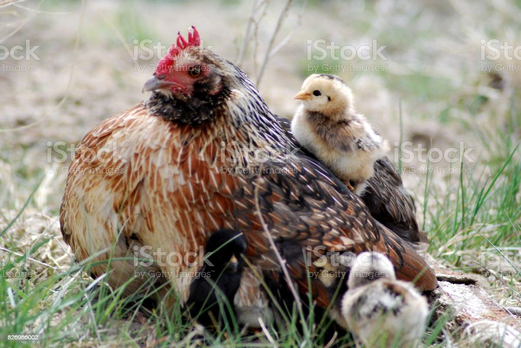 Mother Hen and Her Chicks. stock photo