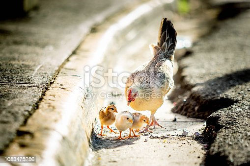 Mother hen with chickens on the street wild grow