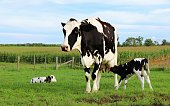 Black and white Holstein Cow standing with twin calves one nursing the other laying in the grass