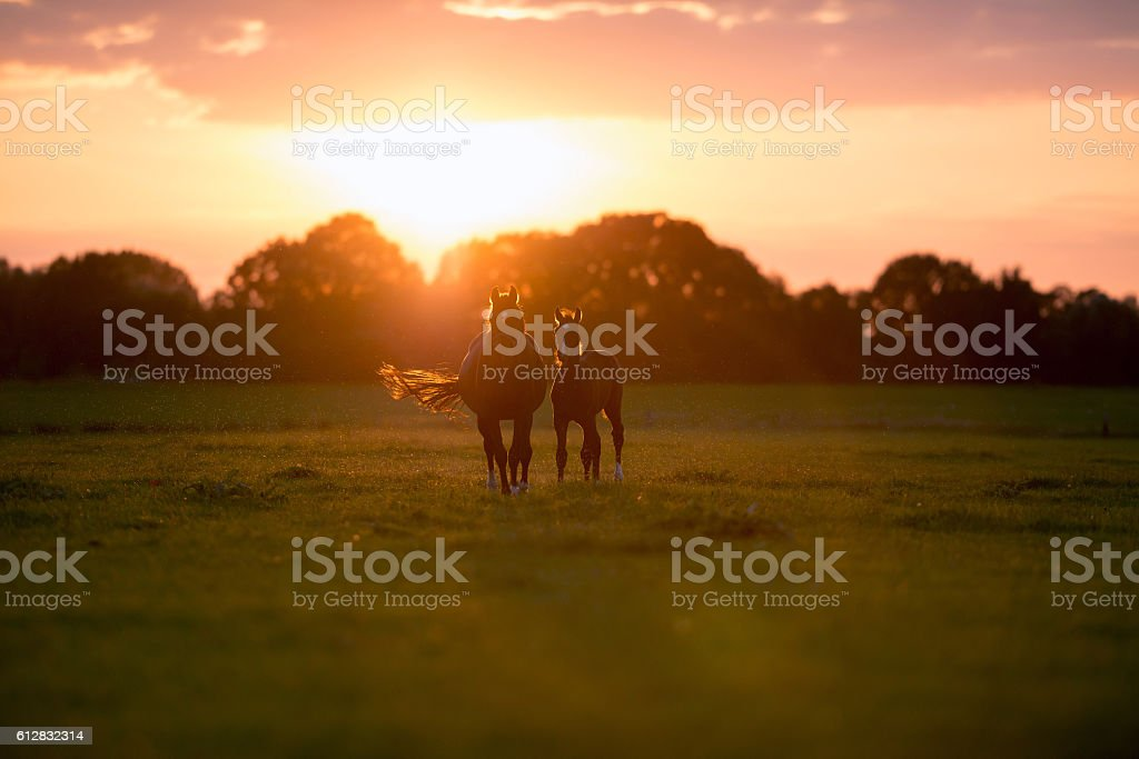 Mother horse with foal on farm land at sunset. stock photo