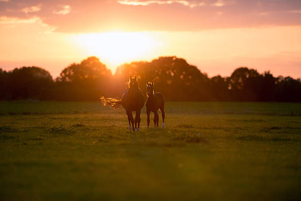 Mother horse with foal on farm land at sunset. – Foto