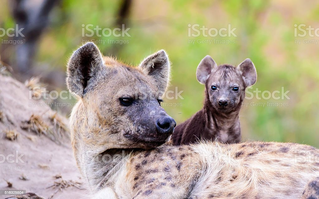 Mother Hyena with pup stock photo