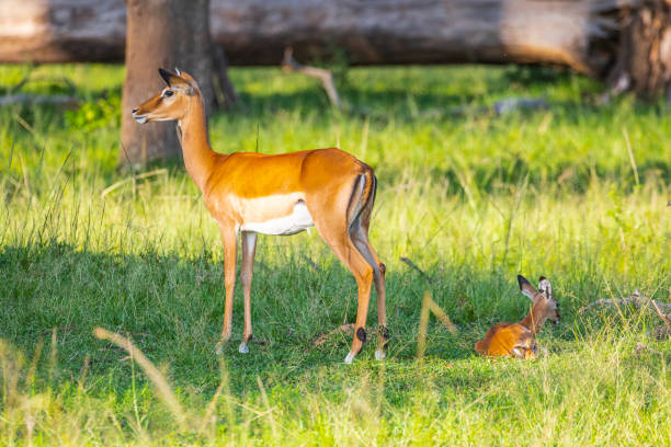 Mother impala with baby in the African plains stock photo