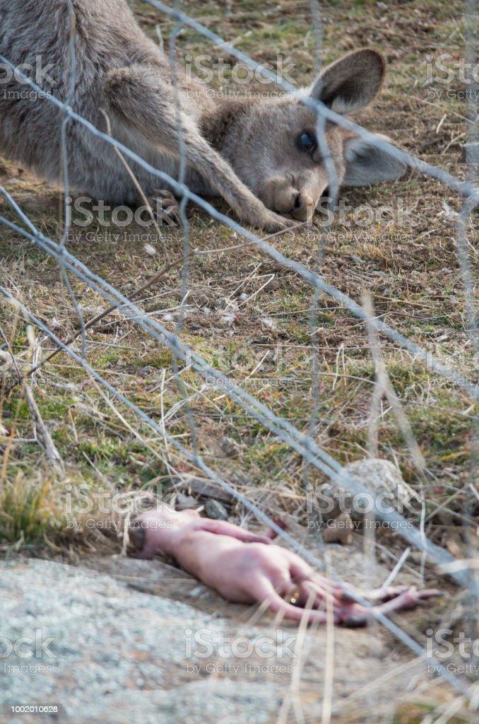 Mother Kangaroo Staring At Dead Baby Kangaroo Joey After