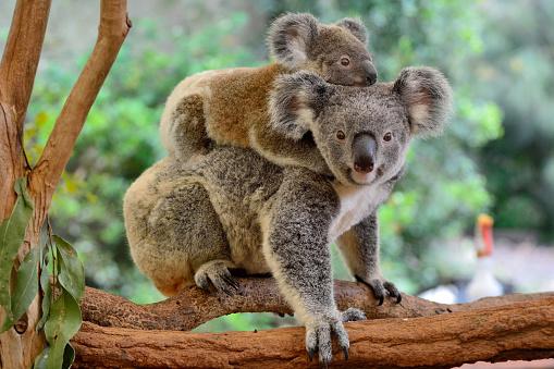 Mother koala with baby on her back, on eucalyptus tree.