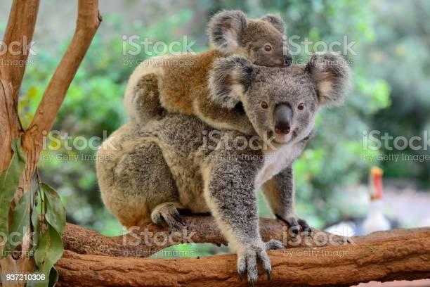 Mother koala with baby on her back picture id937210306?b=1&k=6&m=937210306&s=612x612&h=swsm7egwebtks5r6sjyi qzbjsmb xfe8vvnb4prx8a=