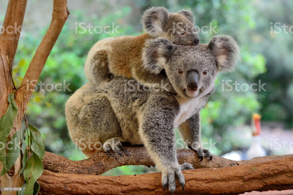 Mother koala with baby on her back stock photo