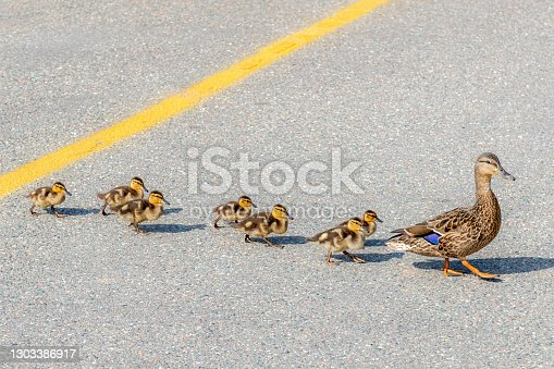 istock Mother leading baby ducks across a road 1303386917