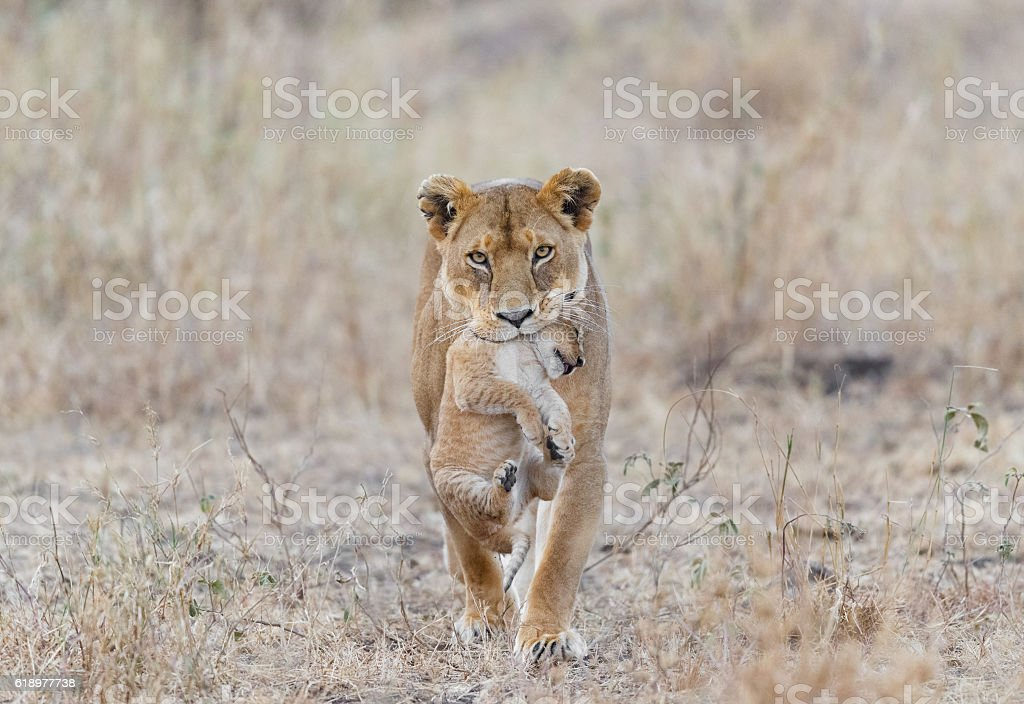 Mother Lion Carrying Cub, Serengeti National Park, Tanzania Africa stock photo