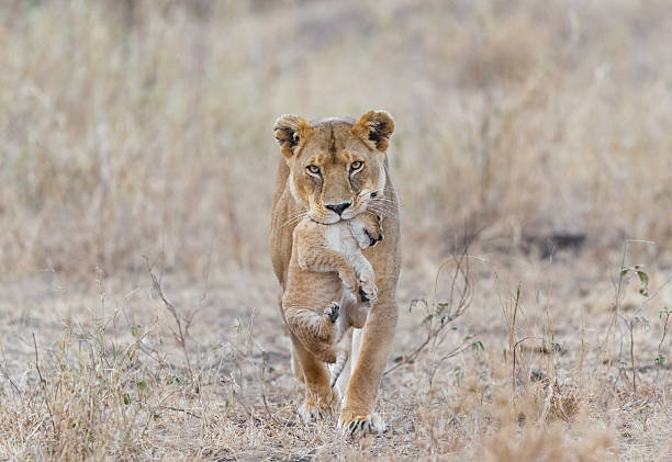 mother lion carrying cub, serengeti national park, tanzania africa - lioness stock photos and pictures