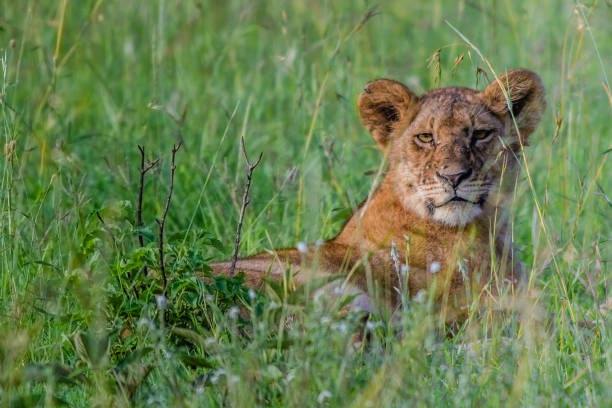 Mother lion keeping a watch out from the long Serengeti grass stock photo